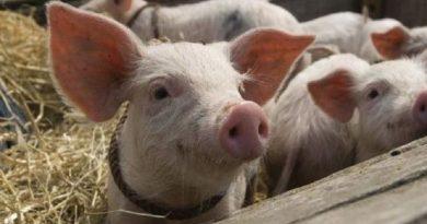 На Николаевщине зафиксирован новый случай африканской чумы свиней Читайте подробнее: http://hub1news.com/%d0%bd%d0%b0-%d0%bd%d0%b8%d0%ba%d0%be%d0%bb%d0%b0%d0%b5%d0%b2%d1%89%d0%b8%d0%bd%d0%b5-%d0%b7%d0%b0%d1%84%d0%b8%d0%ba%d1%81%d0%b8%d1%80%d0%be%d0%b2%d0%b0%d0%bd-%d0%bd%d0%be%d0%b2%d1%8b%d0%b9-%d1%81/