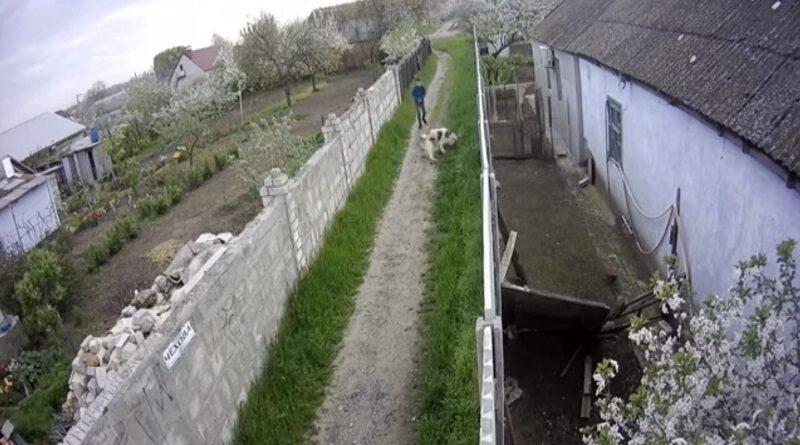 В Николаеве владельца алабая, который на глазах ребенка разорвал его собаку, оштрафовали на 80 грн. Видео.